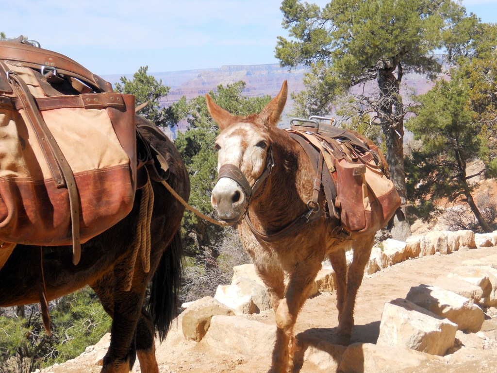 Make Way for the Mule Trail
